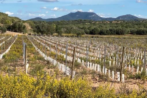 Exclusivo solar con viñedo y fantásticas vistas panorámicas en Cas Concos