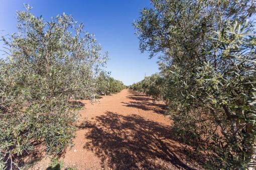 Campo de olivo privado