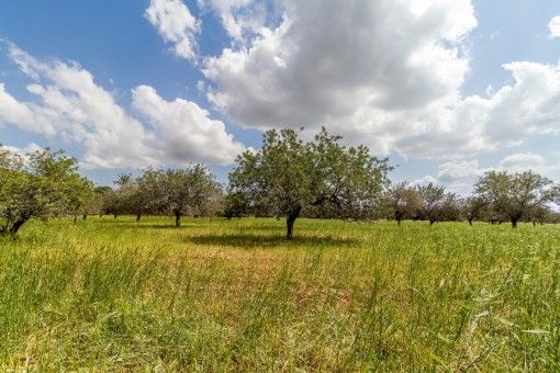 Algunos olivos son parte del terreno