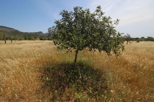 El solar tiene varios arboles de almendros y algarrobos