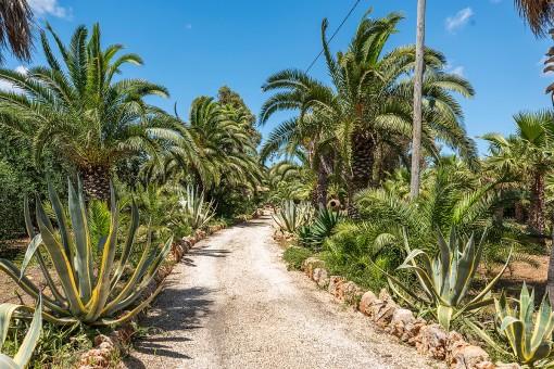 Camino de palmeras