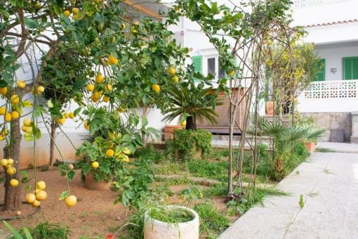 Jardín con limonero